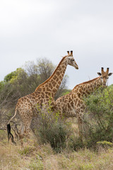 african giraffe in bush