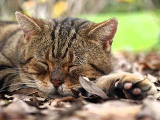 落ち葉のベッドで眠る猫