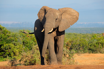 African elephant, Addo Elephant National Park