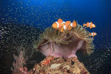 Clownfish (Nemo fish) and anemone