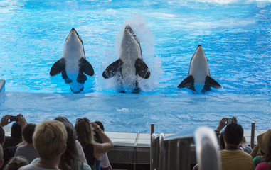 Three killer whales jumping on performance Florida