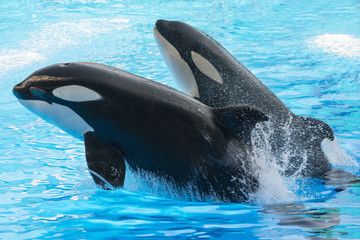 Two jumping killer whales. Florida