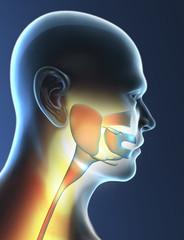 Gola, faringe, laringe, infiammazione, raggi x, mal di gola