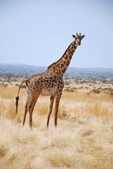 One day of safari in Tanzania - Africa - Giraffe