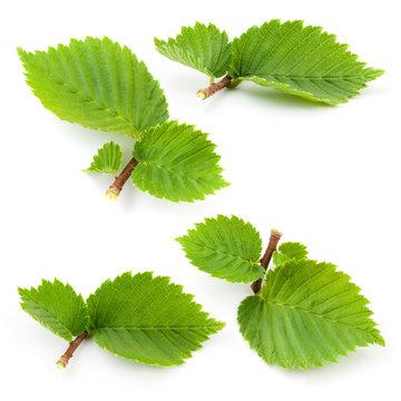 Hazelnut leaves isolated on white background