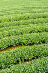 The herb tea plant or Camellia sinensis field