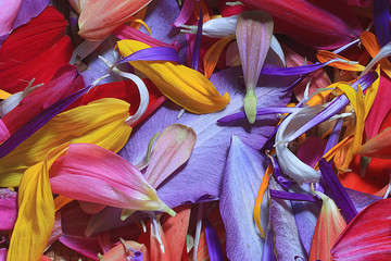 Foto op Plexiglas Paradijsvogel The natural texture of multicolored flower petals, colorful