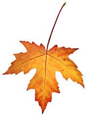 Orange fall leaf isolated on a white background