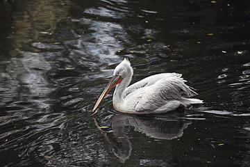 white pelican pond zoo