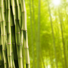 Fresh bamboo with Bamboo forest background