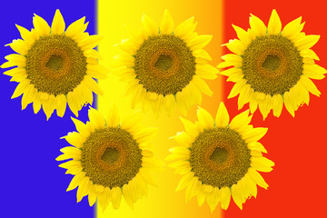 Five large sunflowers isolated on background Romanian flag.