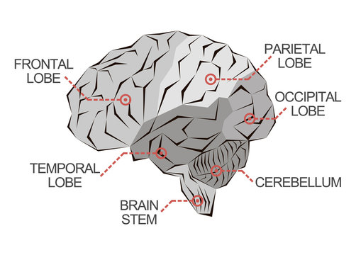 Anatomy of the brain as abstract monochrome illustration