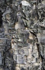 Fototapete - Shaggy birch