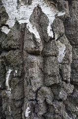 Fototapete - Rough birch bark
