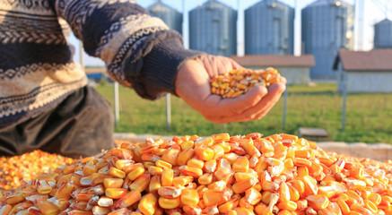 Corn grain of successful farmer, in a background silo