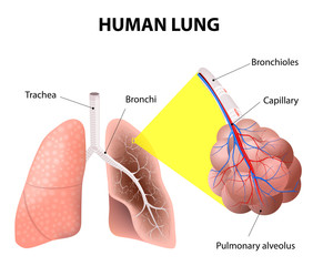 Structure of the human lungs. Human Anatomy