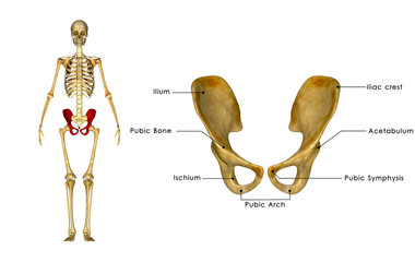 Palvic hip Girdle