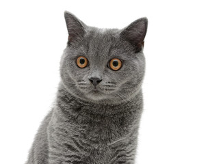 Portrait of a gray cat on a white background