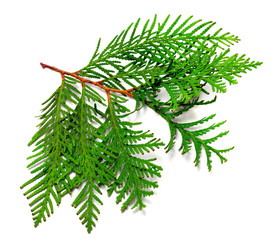 Twig of thuja