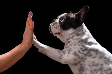French bulldog giving high five with female hand over black