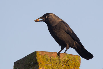 Daw (Corvus monedula) is eating a piece of bread