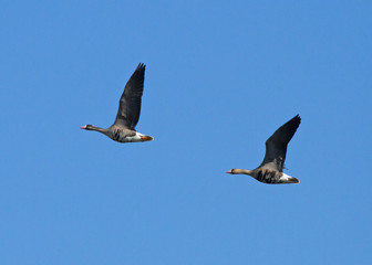 Greater white-fronted goose in flight