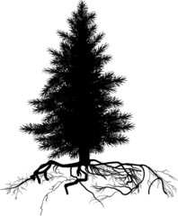 isolated black small pine tree with root