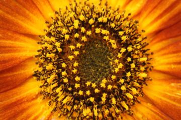Im Zentrum der Sonnenblume