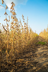 Soybean field ripe just before harvest