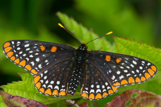 Baltimore Checkerspot,