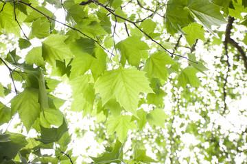プラタナスの新緑