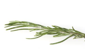 Pinien-Rosmarin, Rosmarinus angustifolia,