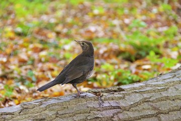 Common black bird looking back
