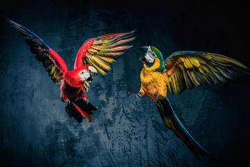 Wall Mural - Two colourful parrots fighting