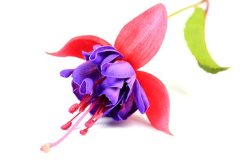 Pink and Purple fushia flower
