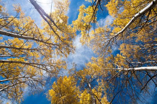 autumn look up, colorado