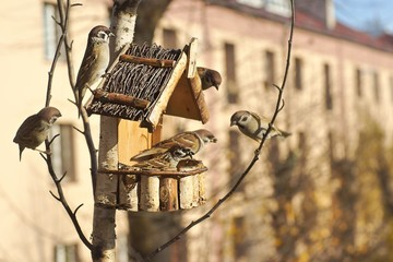 Tree sparrow (Passer montanus), a flock of birds at the feeder