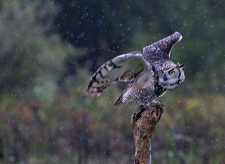Fotoväggar - Great Horned Owl Take-Off