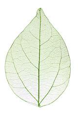 Keuken foto achterwand Decoratief nervenblad Decorative skeleton leaf isolated on white