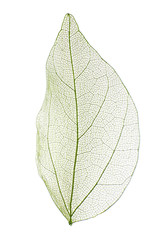 Foto op Canvas Decoratief nervenblad Decorative skeleton leaf isolated on white