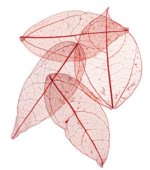 Keuken foto achterwand Decoratief nervenblad Decorative skeleton leaves isolated on white