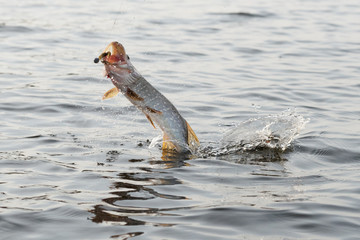 Hooked pike is fighting for freedom
