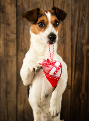 Cute dog posing for the photo with the toy heart
