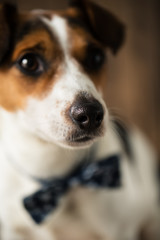 Cute dog with stylish butterfly tie posing for the photo