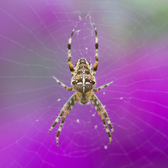 Closeup of an European Garden Spider at purple background