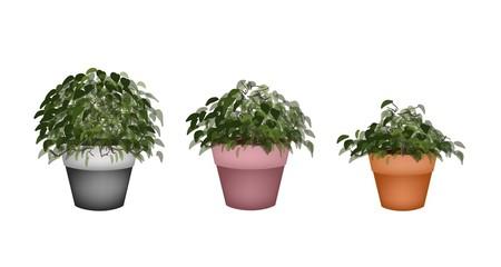 Three Beautiful Houseplant in Terracotta Flower Pots
