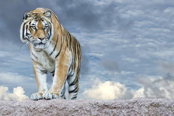 Siberian tiger ready to attack looking at you