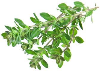 Green fresh thyme on white.