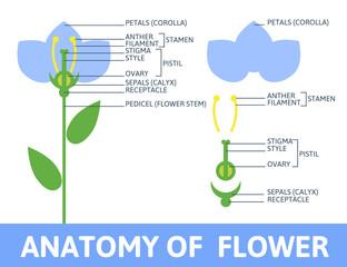Detail of anatomy flower.