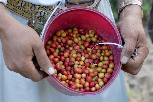 Fresh coffee harvested by Yemeni farmer, Ta'izz, Yemen.
